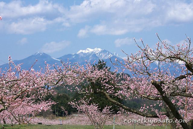 新府の桃の花 開花です_b0179231_19252317.jpg