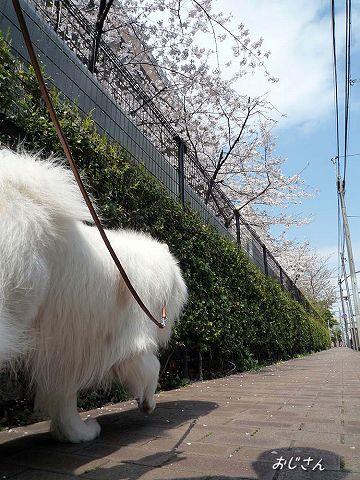 日曜日の桜散歩_c0062832_0192216.jpg