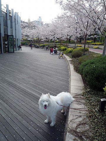 日曜日の桜散歩_c0062832_0192691.jpg
