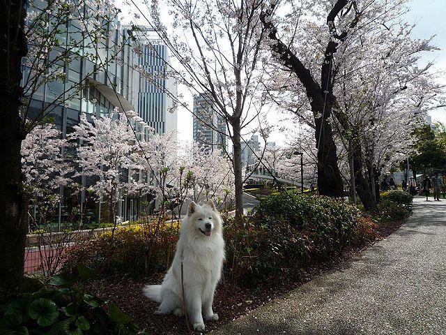 日曜日の桜散歩_c0062832_0193572.jpg