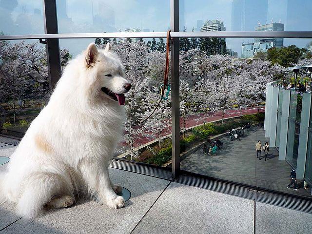 日曜日の桜散歩_c0062832_0194118.jpg