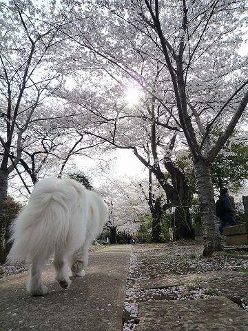 日曜日の桜散歩_c0062832_019462.jpg