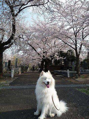 日曜日の桜散歩_c0062832_0195134.jpg