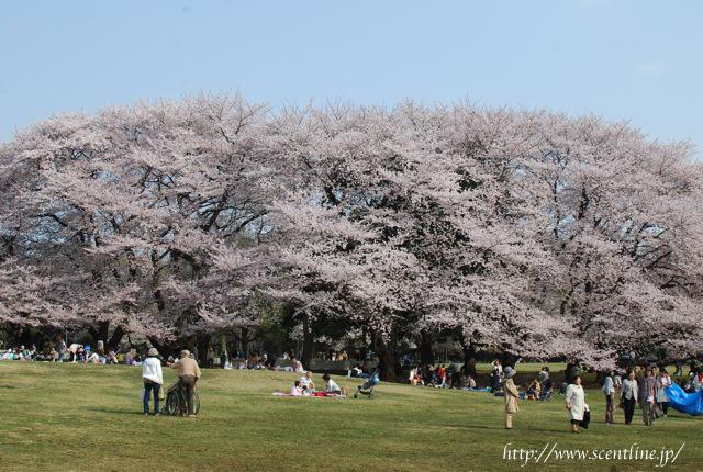 桜満開_c0099133_23523834.jpg