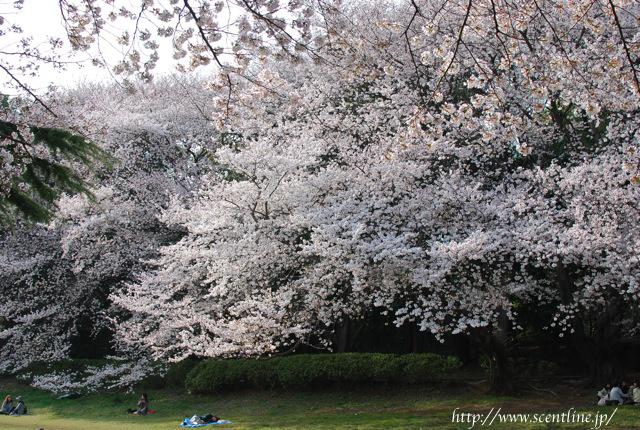 桜満開_c0099133_2353209.jpg