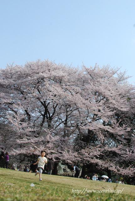 桜満開_c0099133_23542037.jpg