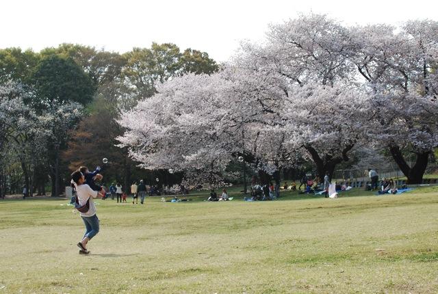 桜満開_c0099133_23551373.jpg