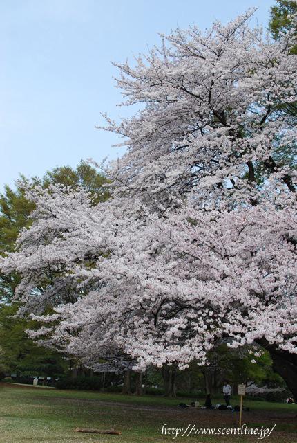 桜満開_c0099133_23573185.jpg