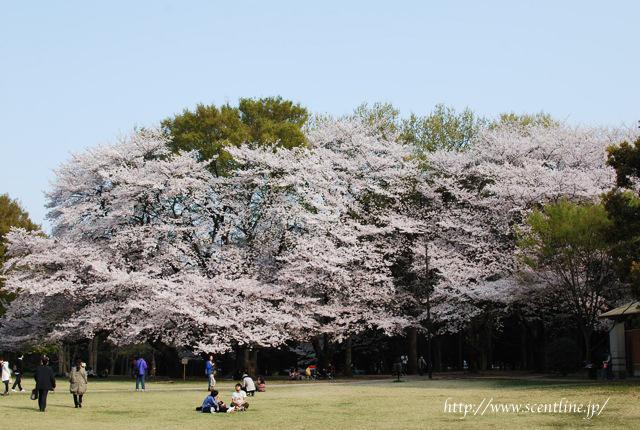 桜満開_c0099133_2357850.jpg