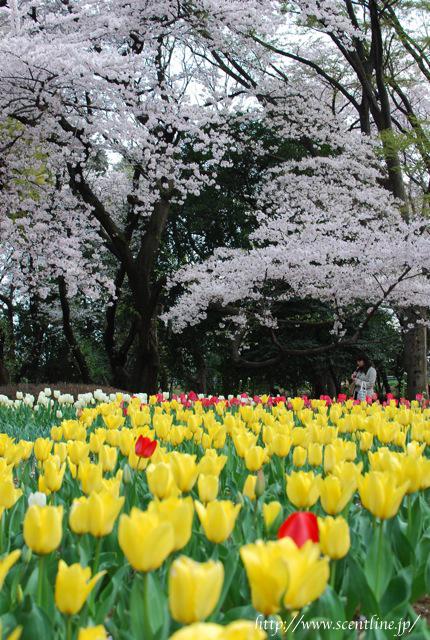桜満開_c0099133_2358640.jpg