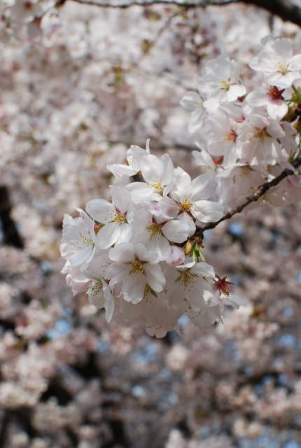 桜満開_c0099133_23594840.jpg