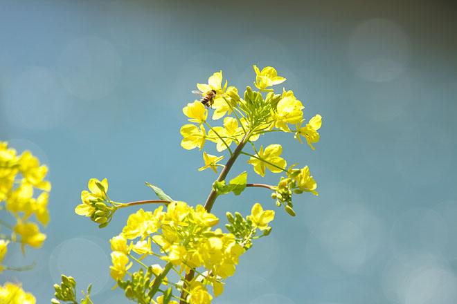 花とミツバチ_c0067040_23391685.jpg