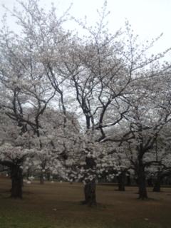 代々木公園の桜_e0114246_1491152.jpg