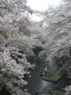 神田川〜の桜_e0114246_22302684.jpg