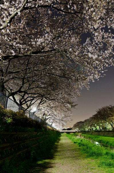 野川の夜桜 2011_a0003650_2334218.jpg