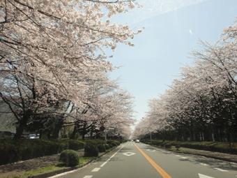 桜が満開_e0109554_13211327.jpg
