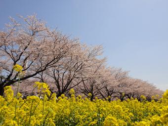 桜が満開_e0109554_13213949.jpg
