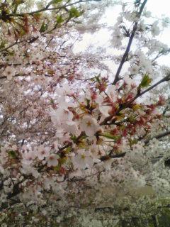 桜と春のトートバッグ_b0156360_169631.jpg