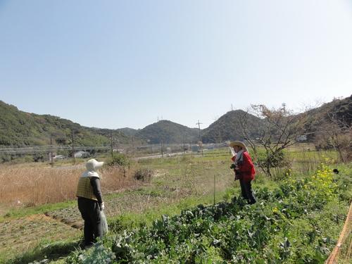 ブロッコリー収穫 in 中孝子の清水農園_c0108460_17444248.jpg