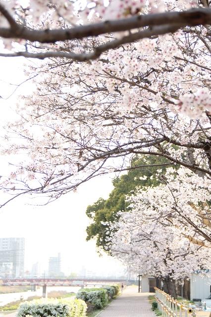 さくら便り 2011 海田町瀬野川河川敷畝公園_b0095061_11211957.jpg
