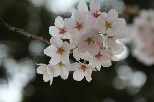 さくら便り 2011 海田町瀬野川河川敷畝公園_b0095061_1121329.jpg