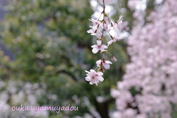 淡い春・京の桜_a0157263_22571573.jpg