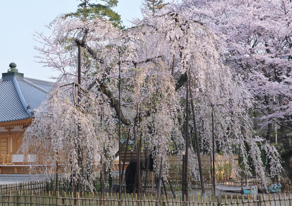 伏姫桜2011 その3_f0018464_6334276.jpg