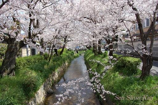 賀茂川の桜  2011年4月_a0164068_23103590.jpg