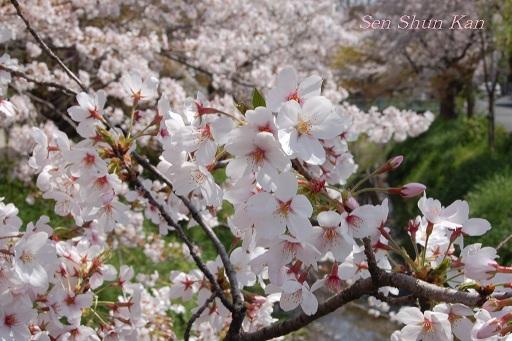 賀茂川の桜  2011年4月_a0164068_23105479.jpg