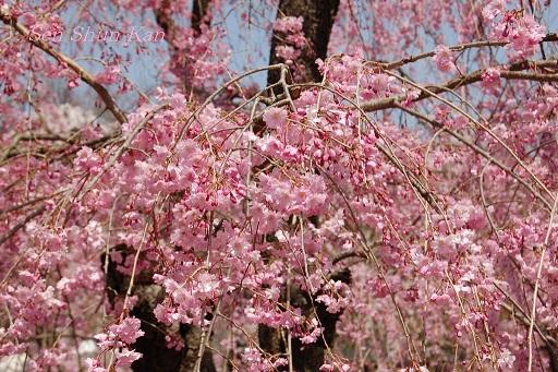 賀茂川の桜  2011年4月_a0164068_23112341.jpg