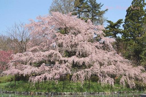 賀茂川の桜  2011年4月_a0164068_23114180.jpg