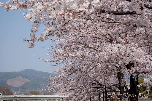 賀茂川の桜  2011年4月_a0164068_2382628.jpg