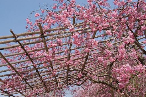 賀茂川の桜  2011年4月_a0164068_2385033.jpg