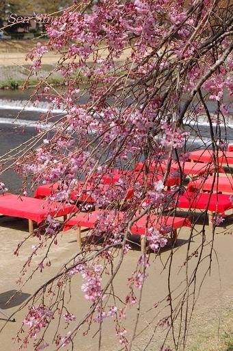 賀茂川の桜  2011年4月_a0164068_239122.jpg