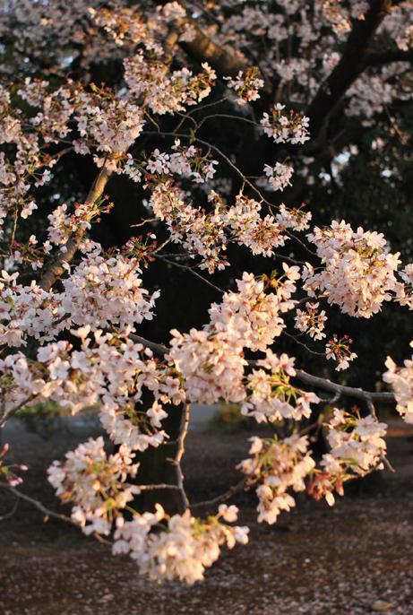 桜の樹_b0194880_2055944.jpg