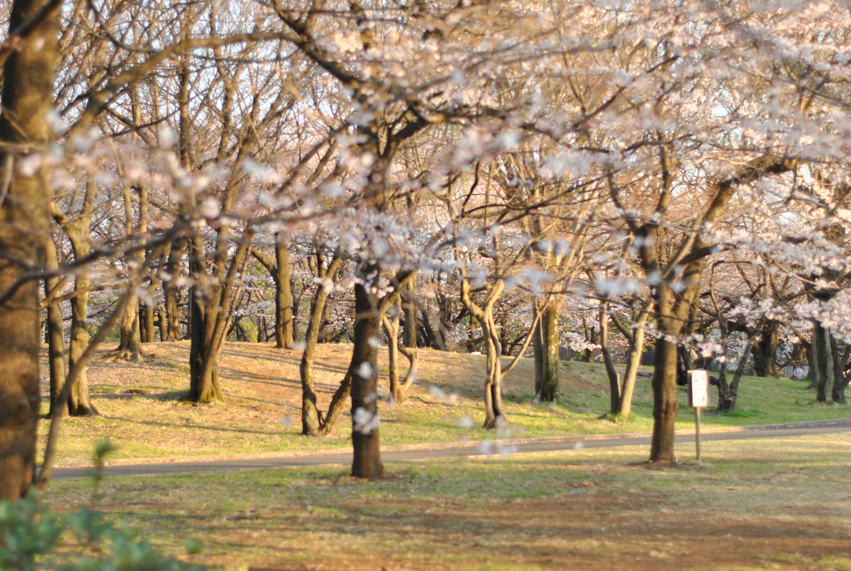 桜の樹_b0194880_2125649.jpg
