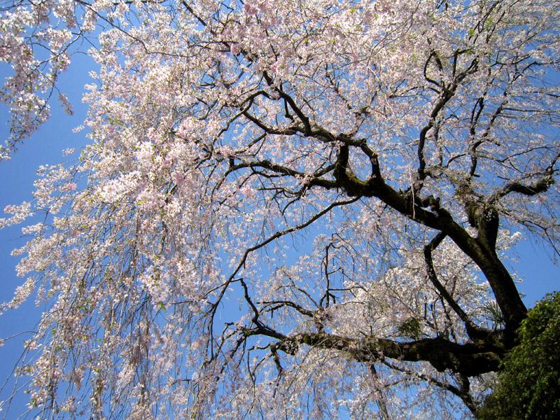 枝垂れ桜_b0083801_18474330.jpg