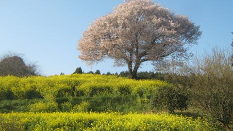 陽だまりの丘にも~(馬場の桜)_f0146802_1613853.jpg