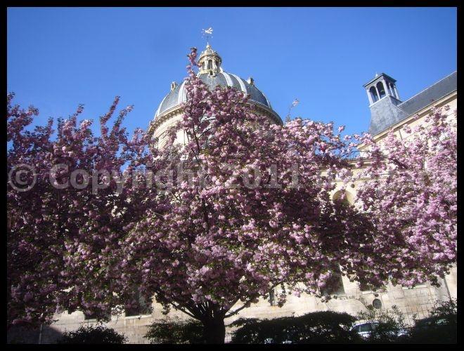 【街角のサクラ】4月7日RUE DE SEINE PARIS_a0008105_19382465.jpg