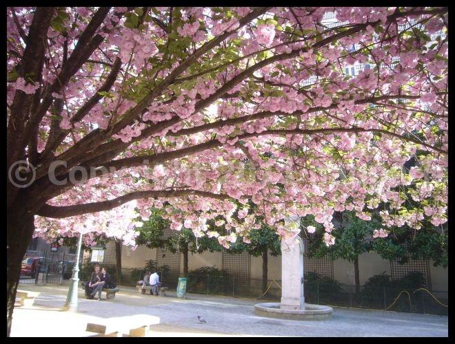 【街角のサクラ】4月7日RUE DE SEINE PARIS_a0008105_19385068.jpg