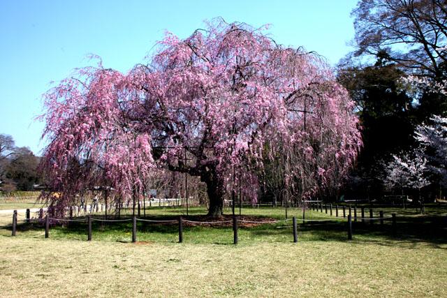 世界遺産の春 上賀茂神社_e0048413_20462025.jpg