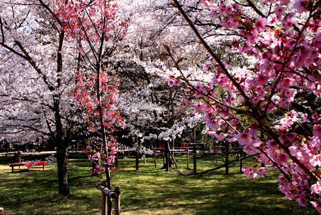 世界遺産の春 上賀茂神社_e0048413_20463414.jpg