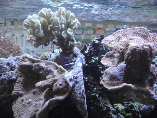海水魚・サンゴ・水草・淡水魚_f0189122_12582398.jpg