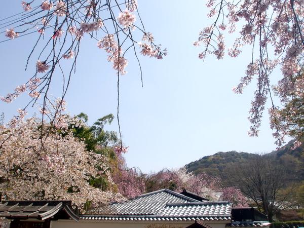 桜パワー継続中_a0197730_0565665.jpg