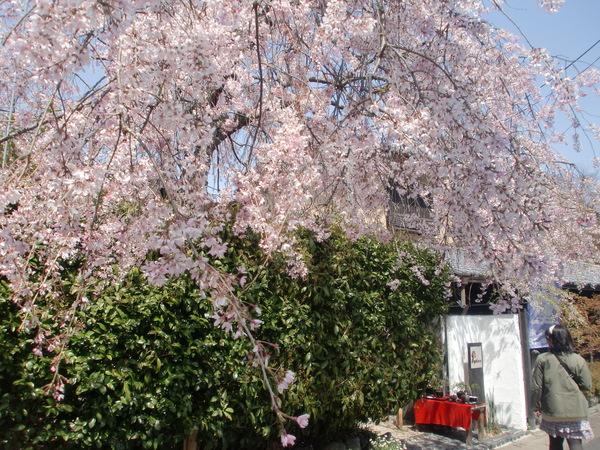 桜パワー継続中_a0197730_057413.jpg