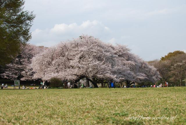桜満開_c0099133_004468.jpg