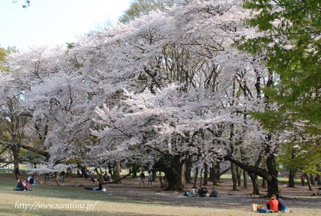 桜満開_c0099133_0113055.jpg