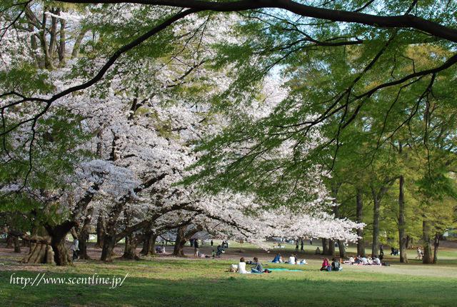 桜満開_c0099133_0114697.jpg