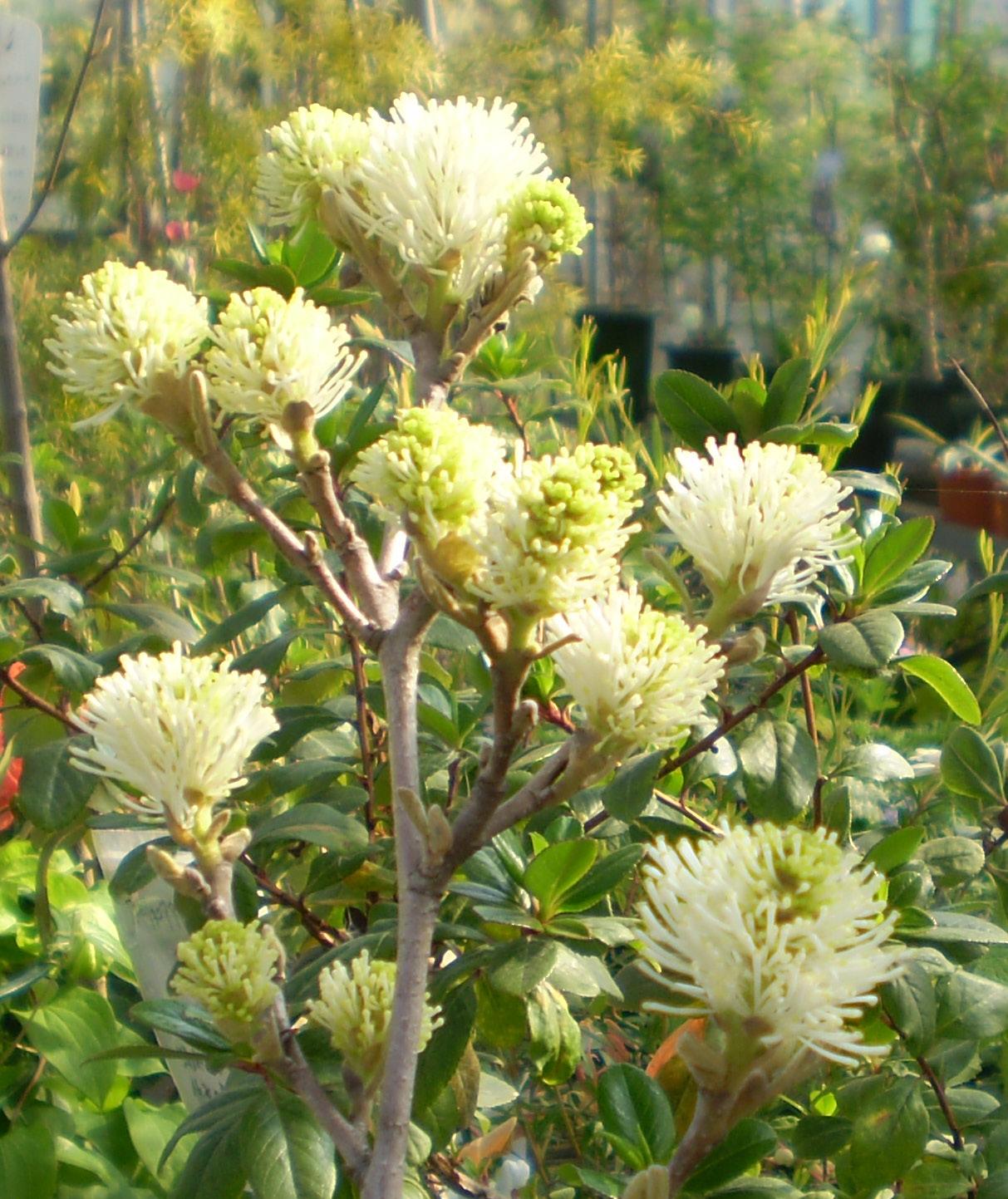 フォッサギラの花は春の光を纏う!_f0139333_2339144.jpg