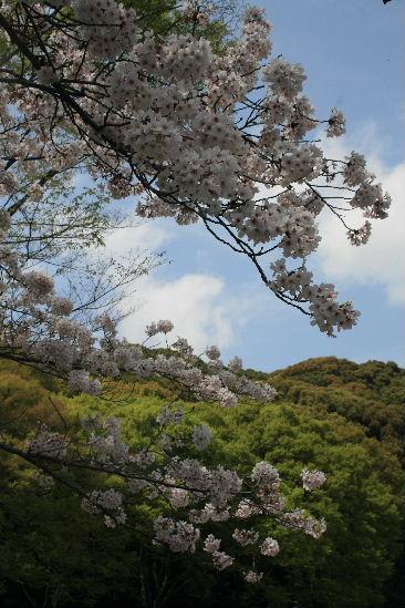 護国神社の桜_f0082141_10184453.jpg
